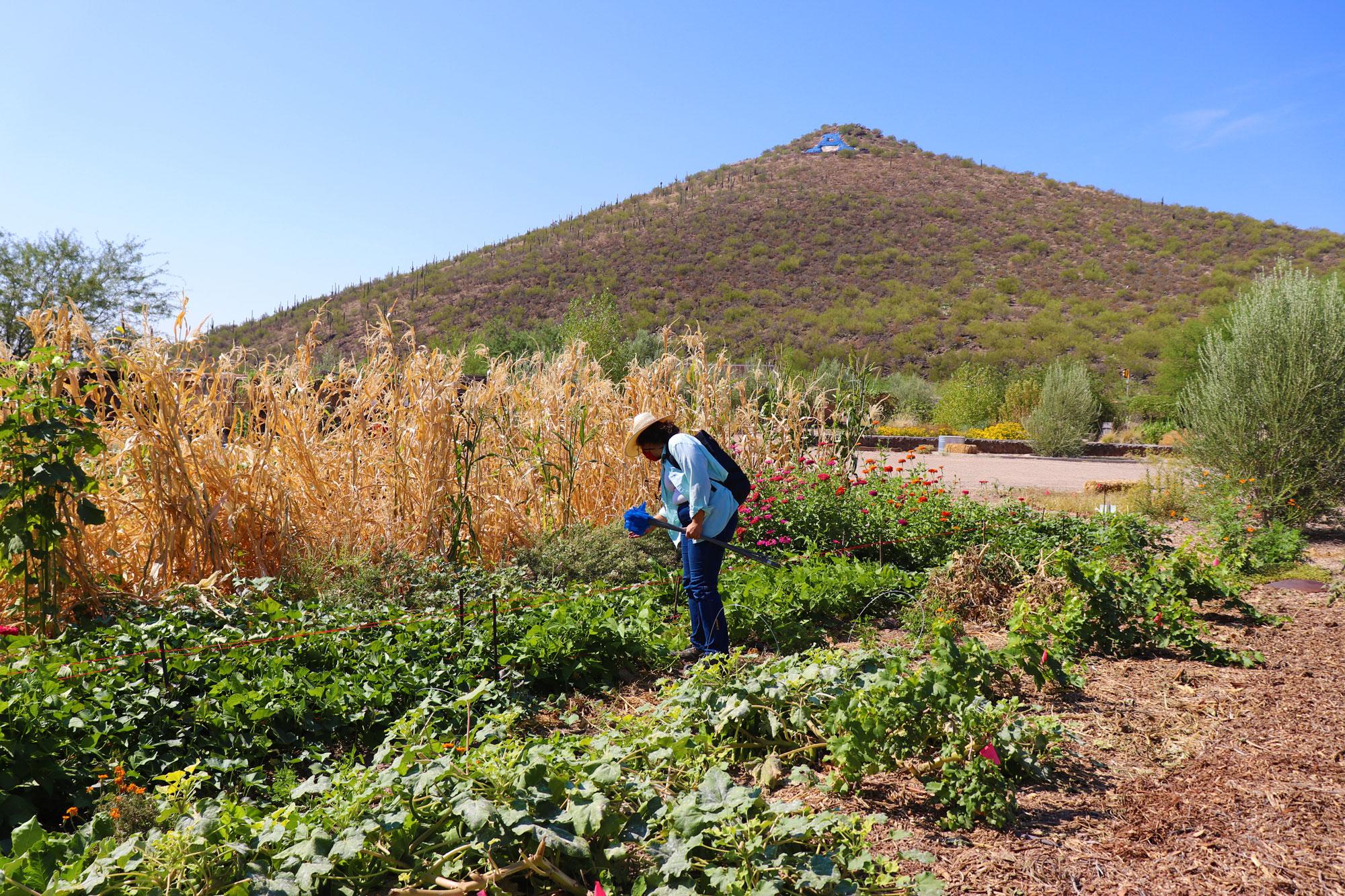 Sampling soil in the Mission Garden