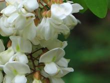 Black locusts (Robinia pseudoacacia)